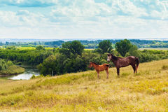 Pasturing colt and horse in the countryside. Stallion and foal on the background of the picturesque landscape Stock Photo