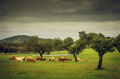 Pasturing Cows Stock Photo