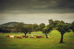 Pasturing Cows Stock Photo