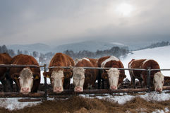 Pasturing cows in winter Stock Photography