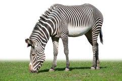 Pasturing Grevy's zebra Stock Photos
