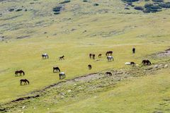 Pasturing herd of horses Royalty Free Stock Photos