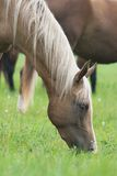Pasturing horse. Head and neck of a horse eating grass Royalty Free Stock Photo