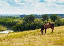 Pasturing horse in the countryside. Stallion on the background of the picturesque landscape Stock Image