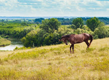 Pasturing horse in the countryside. Stallion on the background of the picturesque landscape Royalty Free Stock Images