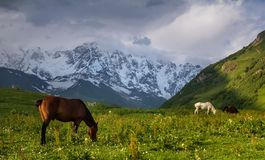 Pasturing. A horse on a pasture in Svaneti mountains, Georgia Stock Image