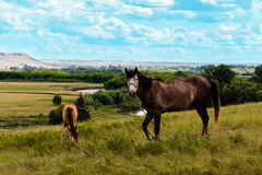 Pasturing horses in the countryside. Stallion and foal on the background of the picturesque landscape Stock Image