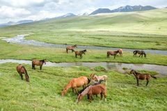 Pasturing horses and foals Royalty Free Stock Images