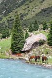 Pasturing horses at river Stock Photography