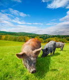 Pasturing pigs Royalty Free Stock Images