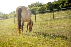 pastwiska koń Obraz Royalty Free