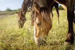 pastwiska koń Obraz Stock