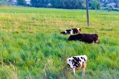 pastwiska krowa zdjęcie royalty free