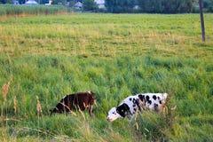 pastwiska krowa fotografia stock