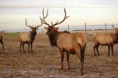 pastwiska łosia Obrazy Royalty Free