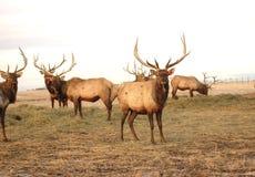 pastwiska łosia byka Fotografia Royalty Free