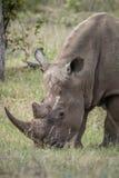Pastwiskowa biała nosorożec Zdjęcie Royalty Free
