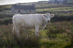 Pastwiskowa biała krowa, Irlandia Obrazy Royalty Free