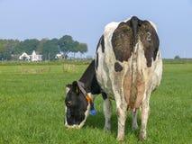 Pastwiskowa czarna pied krowa za z od numerowego, wysuszonego nawozu na i, w łące fotografia royalty free