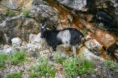 Pastwiskowa kózka Zdjęcie Stock