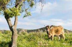 Pastwiskowa krowa obok drzewa Fotografia Stock
