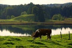 Pastwiskowa krowa w idyllicznym krajobrazie Zdjęcia Stock