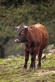 pastwiskowa krowy łąka Zdjęcie Stock