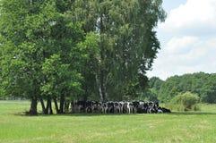 pastwiskowa krowy łąka Zwierzęta gospodarskie na paśniku Fotografia Royalty Free