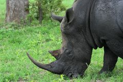 pastwiskowa nosorożec Fotografia Stock