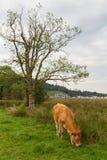 Pastwiskowa łydka w Ambleside wsi, Cumbria, UK Zdjęcie Royalty Free