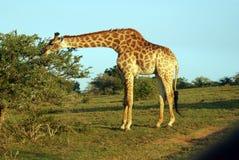 Pastwiskowa żyrafa Zdjęcia Royalty Free