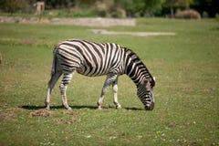 pastwiskowa zebra Zdjęcie Royalty Free
