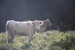 Pastwiskowe krowy uwalniają pasać obraz stock
