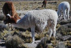 pastwiskowe lamy Zdjęcie Stock
