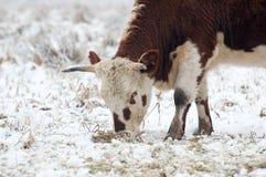 pastwiskowi byków potomstwa Obraz Royalty Free