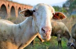 Pastwiskowi cakle Fotografia Stock