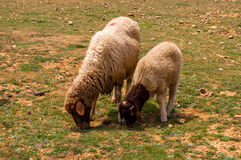 Pastwiskowi cakle na zieleni polu Obraz Stock