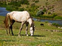 pastwiskowi koni Zdjęcia Stock
