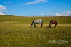 pastwiskowi koni Obrazy Royalty Free