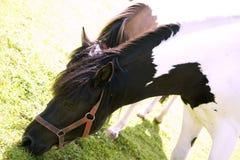 pastwiskowi konie obraz stock