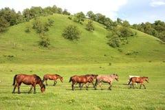 pastwiskowi konie Obrazy Royalty Free