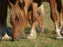 Pastwiskowi konie Zdjęcie Royalty Free