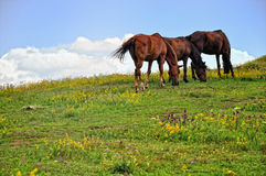 Pastwiskowi konie Fotografia Royalty Free