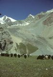 pastwiskowi marco polo owce Fotografia Stock