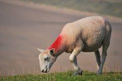 pastwiskowi owce Zdjęcia Stock