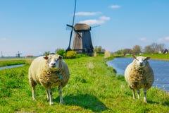 pastwiskowi owce Fotografia Royalty Free