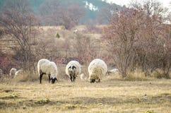 pastwiskowi owce obraz stock