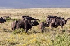 Pastwiskowi przylądków bizony Obrazy Royalty Free
