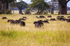 Pastwiskowi przylądków bizony Fotografia Royalty Free
