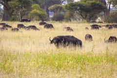 Pastwiskowi przylądków bizony Zdjęcie Stock